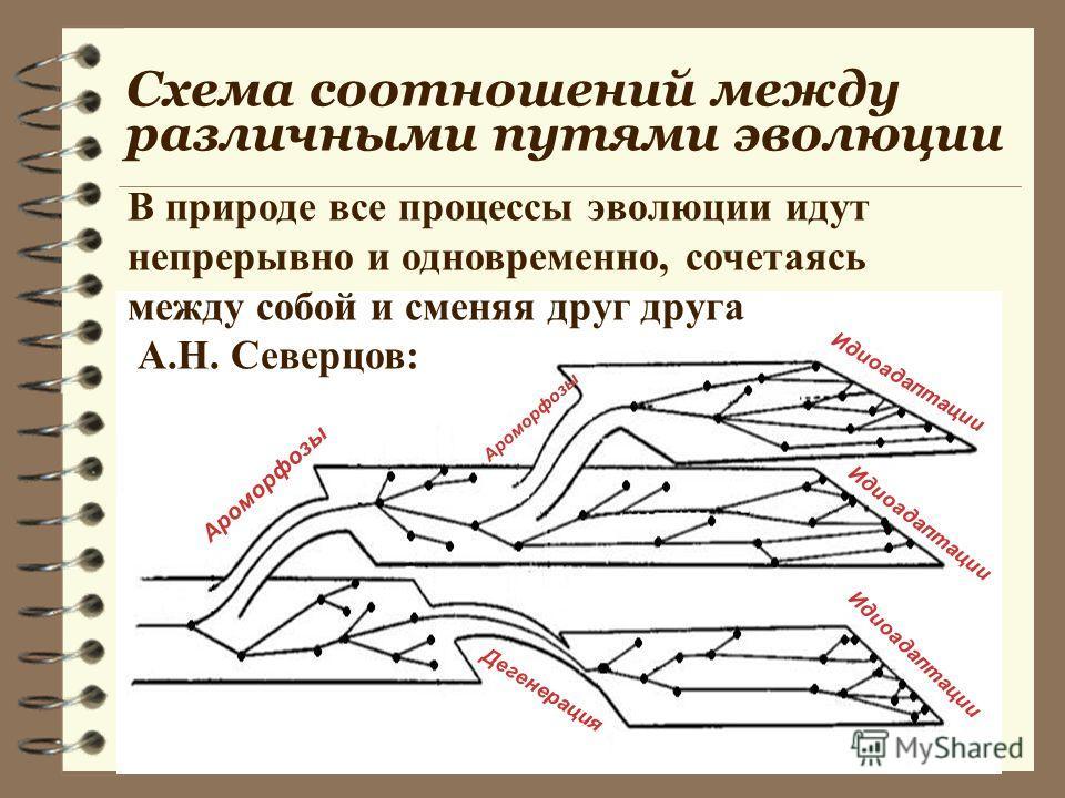 Схема соотношений между различными путями эволюции Ароморфозы Идиоадаптации Дегенерация В природе все процессы эволюции идут непрерывно и одновременно, сочетаясь между собой и сменяя друг друга А.Н. Северцов: