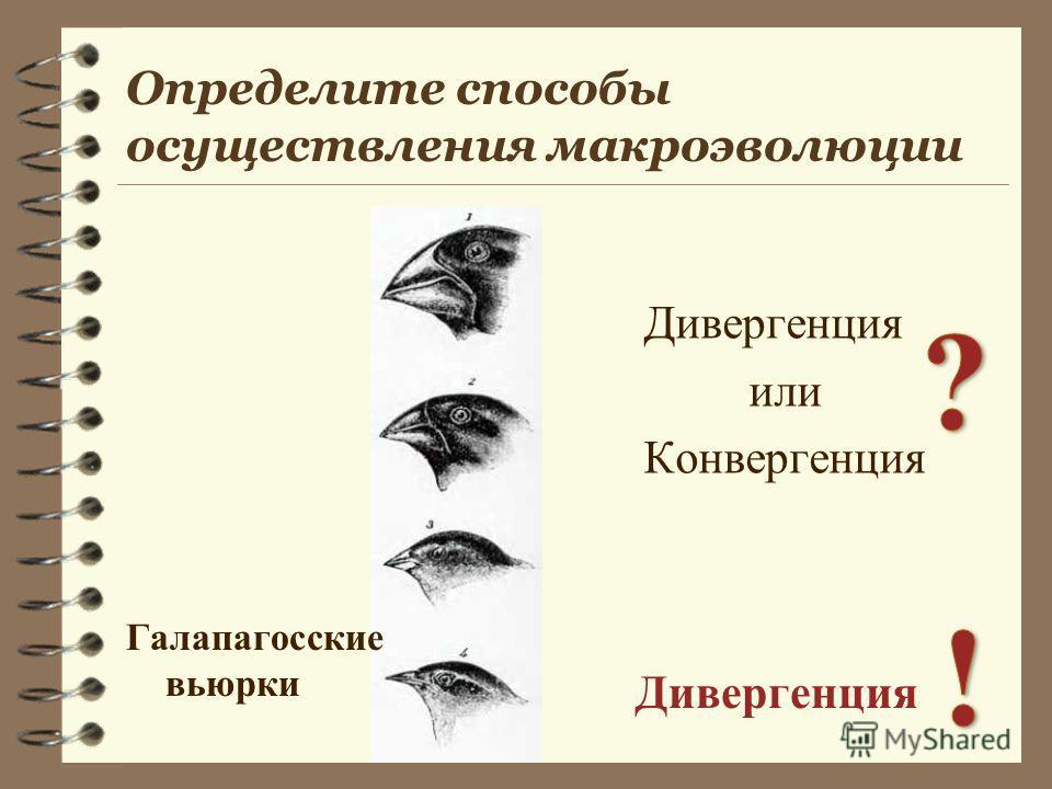 Дивергенция или Конвергенция Дивергенция Галапагосские вьюрки Определите способы осуществления макроэволюции