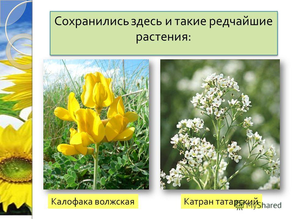 Сохранились здесь и такие редчайшие растения : Сохранились здесь и такие редчайшие растения : Калофака волжская Катран татарский