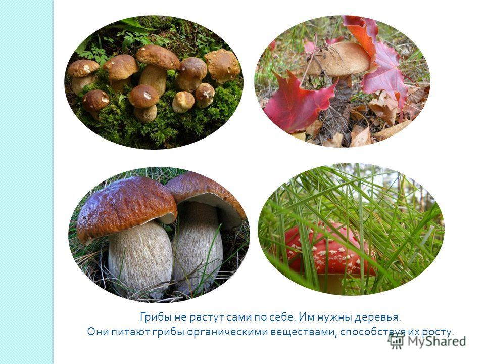 Грибы не растут сами по себе. Им нужны деревья. Они питают грибы органическими веществами, способствуя их росту.
