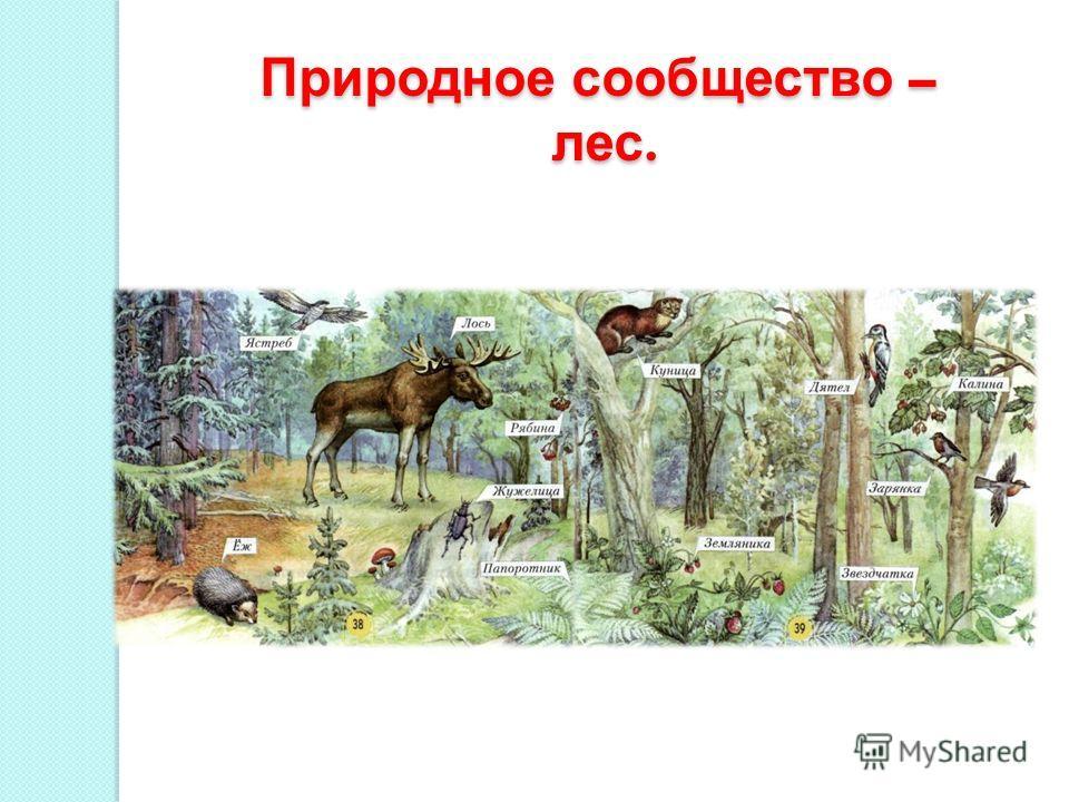 Природное сообщество – лес. лес.