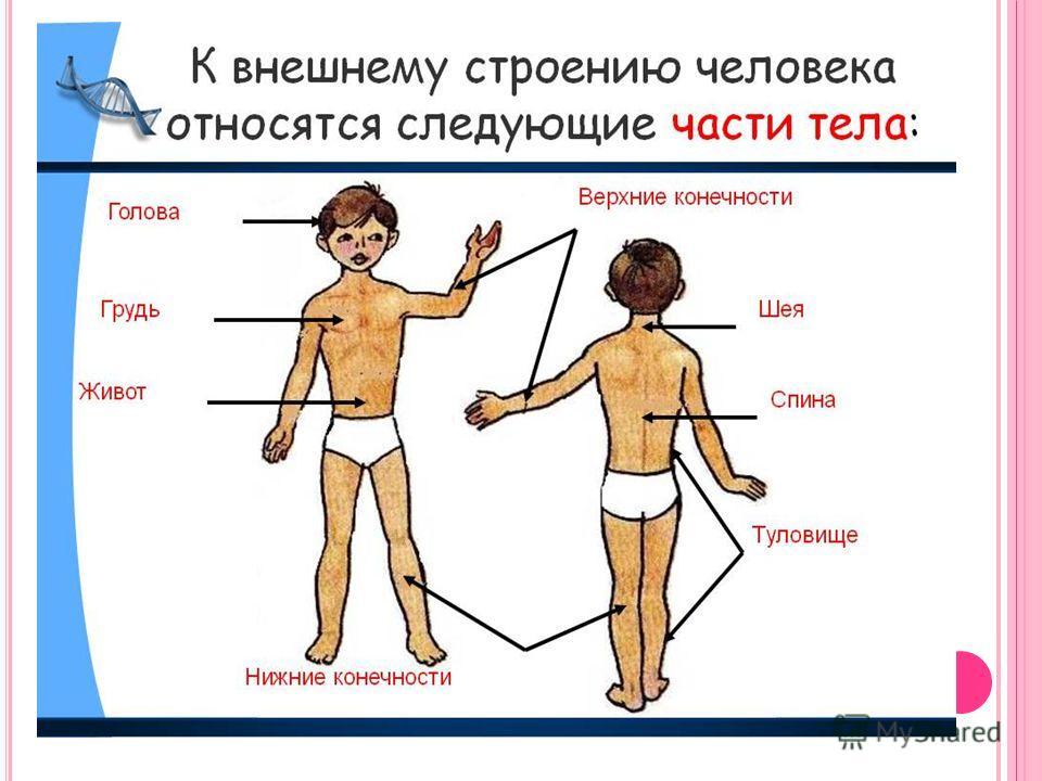 В НЕШНЕЕ СТРОЕНИЕ ТЕЛА ЧЕЛОВЕКА. 1.Голова. 2. Шея. 3. Грудь. 4. Руки. 5.Живот. 6. Ноги.