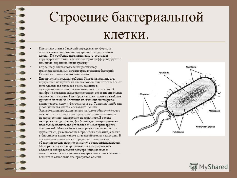 Строение бактериальной клетки. Клеточная стенка бактерий определяет их форму и обеспечивает сохранение внутреннего содержимого клетки. По особенностям химического состава и структуры клеточной стенки бактерии дифференцируют с помощью окрашивания по г