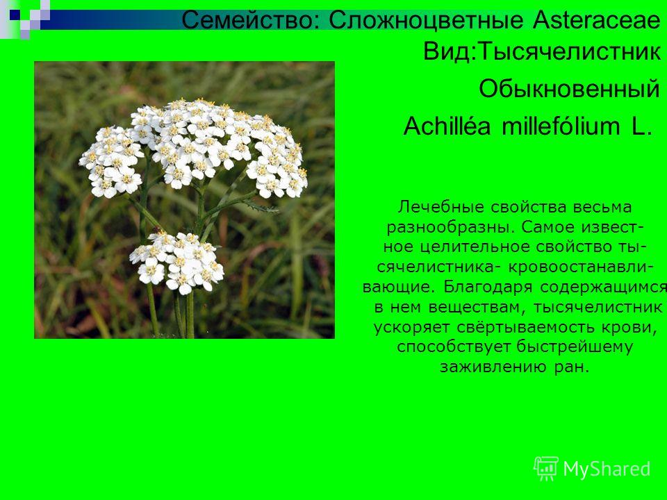 Семейство: Сложноцветные Asteraceae Вид:Тысячелистник Обыкновенный Achilléa millefólium L. Лечебные свойства весьма разнообразны. Самое известное целительное свойство тысячелистника- кровоостанавливающие. Благодаря содержащимся в нем веществам, тысяч