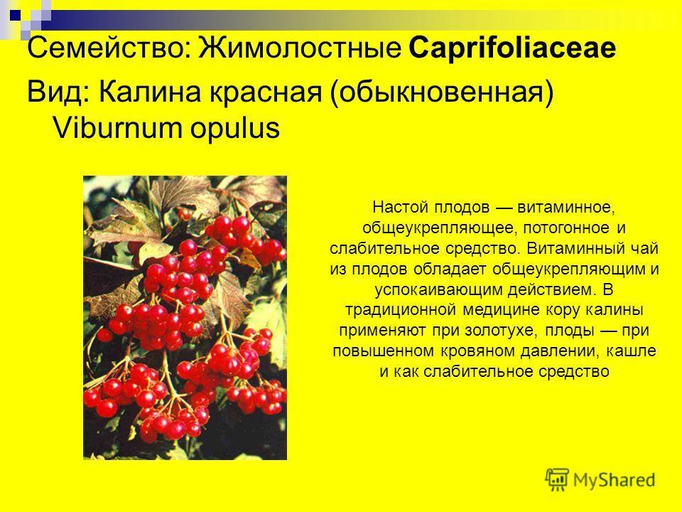 Семейство: Жимолостные Caprifoliaceae Вид: Калина красная (обыкновенная) Viburnum opulus Настой плодов витаминное, общеукрепляющее, потогонное и слабительное средство. Витаминный чай из плодов обладает общеукрепляющим и успокаивающим действием. В тра