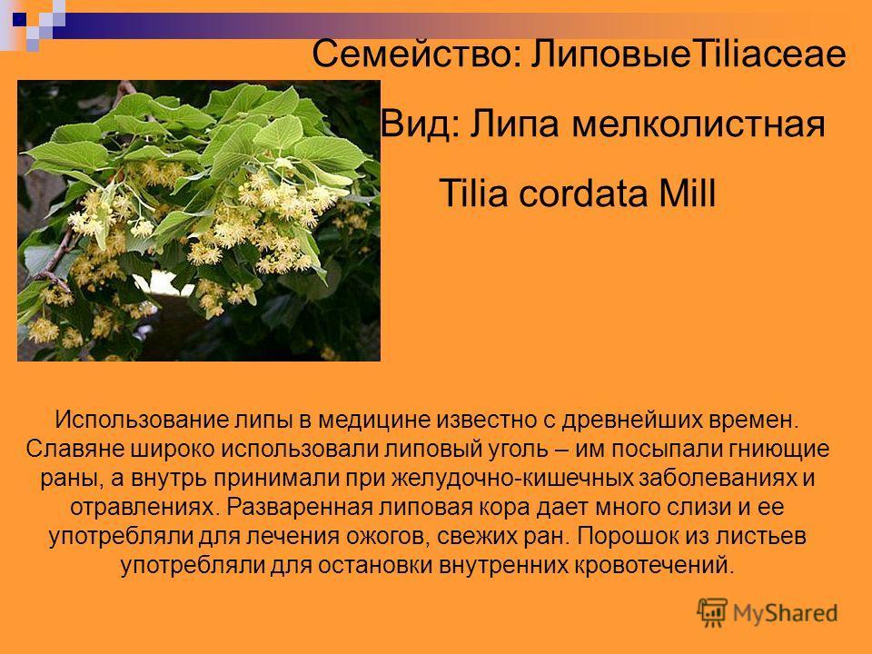 Семейство: ЛиповыеTiliaceae Вид: Липа мелколистная Tilia cordata Mill Использование липы в медицине известно с древнейших времен. Славяне широко использовали липовый уголь – им посыпали гниющие раны, а внутрь принимали при желудочно-кишечных заболева