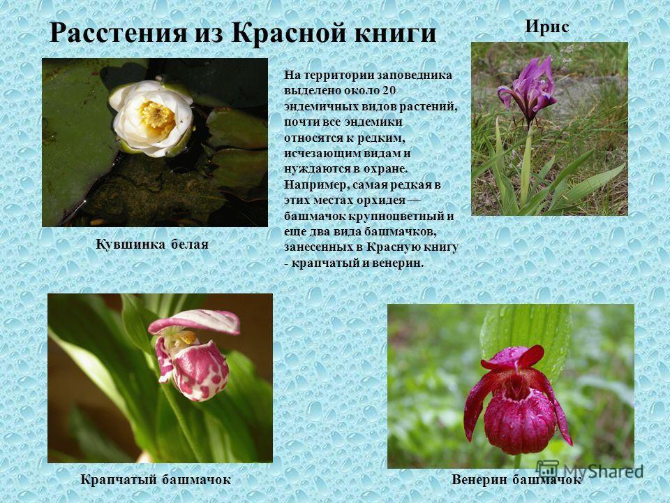 Расстения из Красной книги Ирис На территории заповедника выделено около 20 эндемичных видов растений, почти все эндемики относятся к редким, исчезающим видам и нуждаются в охране. Например, самая редкая в этих местах орхидея башмачок крупноцветный и