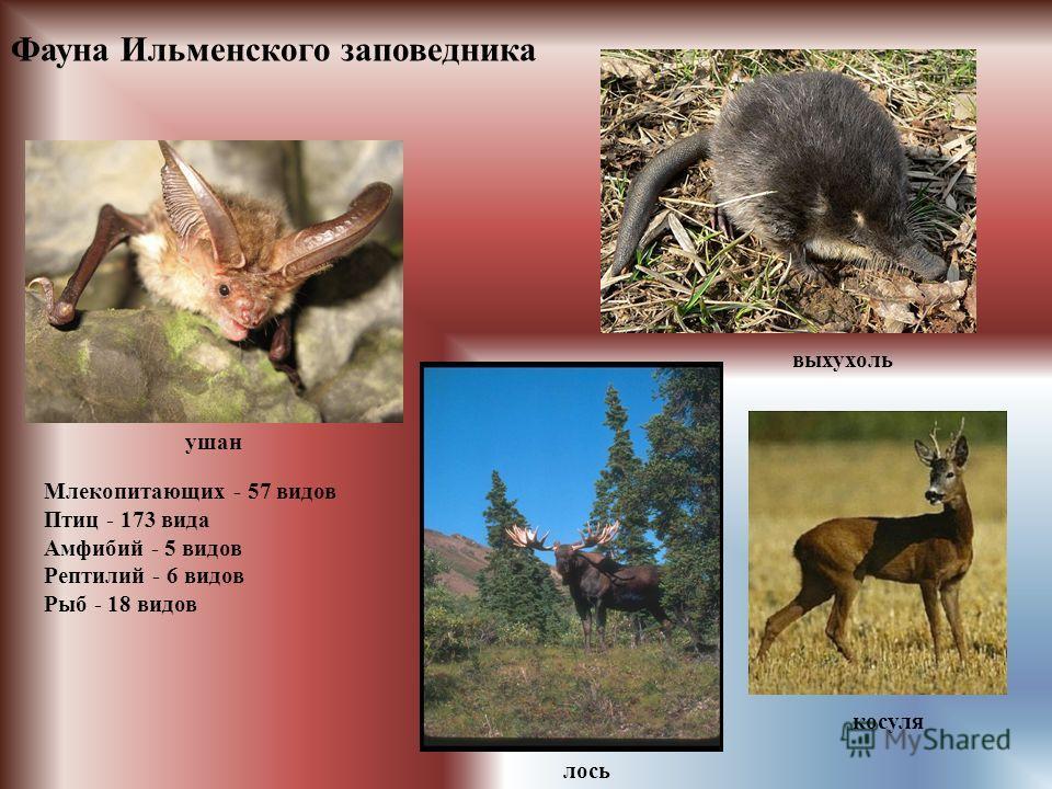 Фауна Ильменского заповедника лось косуля выхухоль ушан Млекопитающих - 57 видов Птиц - 173 вида Амфибий - 5 видов Рептилий - 6 видов Рыб - 18 видов