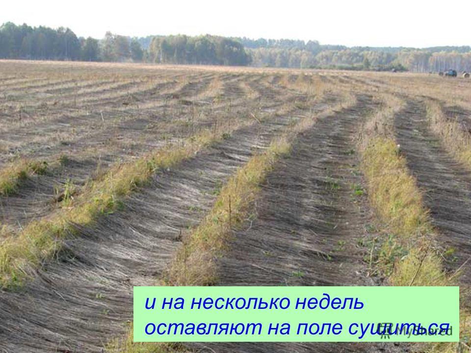 и на несколько недель оставляют на поле сушиться