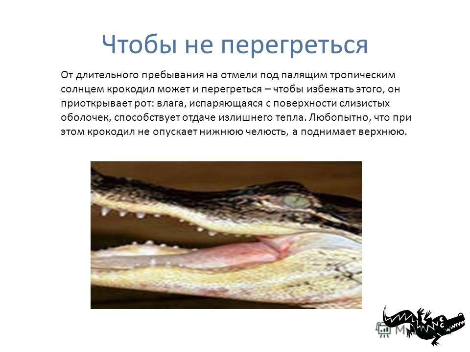 Чтобы не перегреться От длительного пребывания на отмели под палящим тропическим солнцем крокодил может и перегреться – чтобы избежать этого, он приоткрывает рот: влага, испаряющаяся с поверхности слизистых оболочек, способствует отдаче излишнего теп