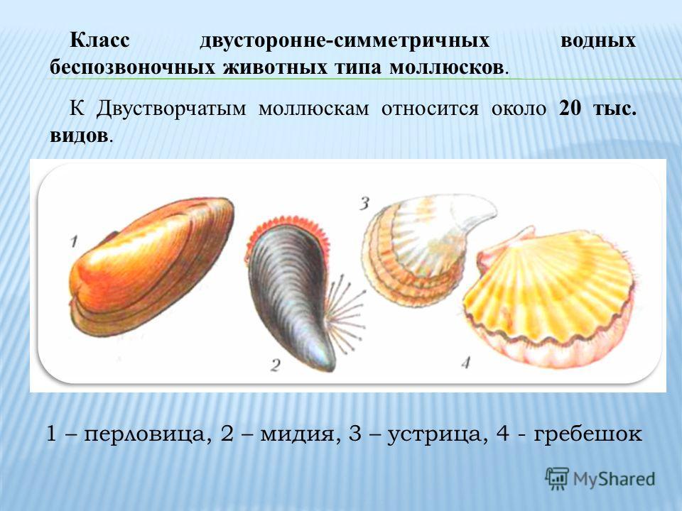 Класс двусторонне-симметричных водных беспозвоночных животных типа моллюсков. К Двустворчатым моллюскам относится около 20 тыс. видов. 1 – перловица, 2 – мидия, 3 – устрица, 4 - гребешок