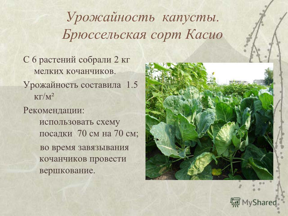 Урожайность капусты. Брюссельская сорт Касио С 6 растений собрали 2 кг мелких кочанчиков. Урожайность составила 1.5 кг/м² Рекомендации: использовать схему посадки 70 см на 70 см; во время завязывания кочанчиков провести вершкование.