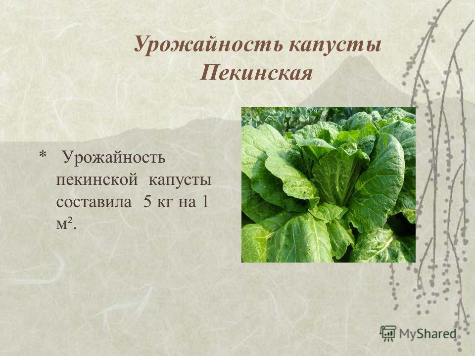 * Урожайность пекинской капусты составила 5 кг на 1 м². Урожайность капусты Пекинская