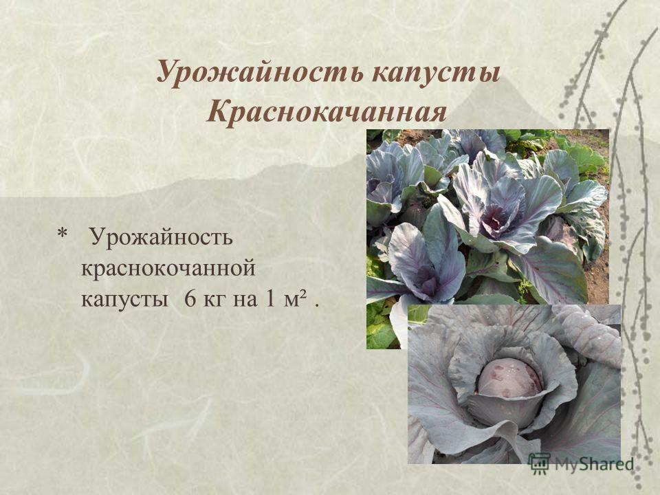* Урожайность краснокочанной капусты 6 кг на 1 м². Урожайность капусты Краснокачанная
