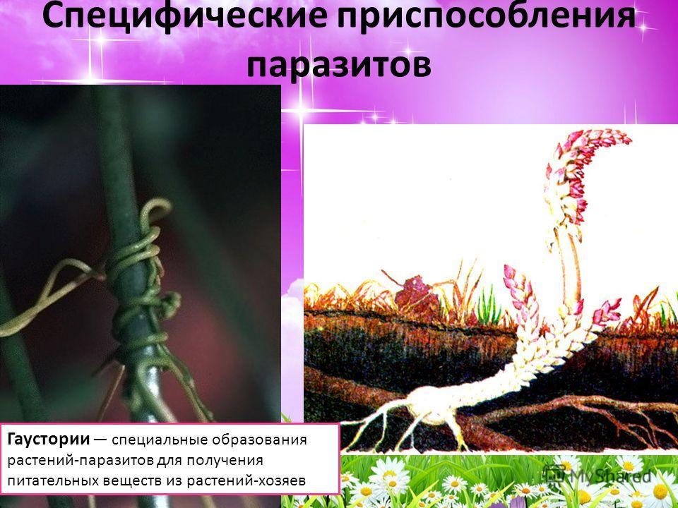 Специфические приспособления паразитов Гаустории специальные образования растений-паразитов для получения питательных веществ из растений-хозяев