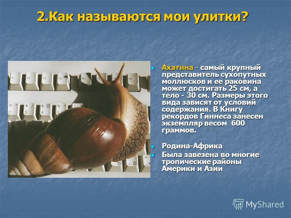 2. Как называются мои улитки? Ахатина - самый крупный представитель сухопутных моллюсков и ее раковина может достигать 25 см, а тело - 30 см. Размеры этого вида зависят от условий содержания. В Книгу рекордов Гиннеса занесен экземпляр весом 600 грамм