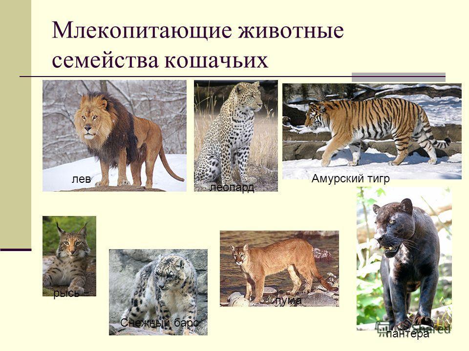 Млекопитающие животные семейства кошачьих лев Амурский тигр леопард рысь пума пантера Снежный барс