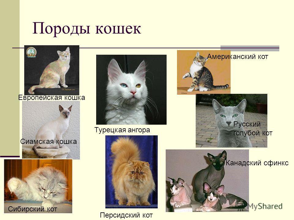 Породы кошек Европейская кошка Турецкая ангора Американский кот Сиамская кошка Персидский кот Русский голубой кот Канадский сфинкс Сибирский кот