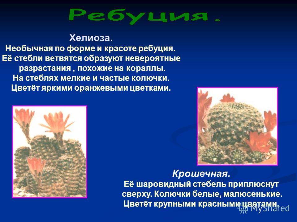 Хелиоза. Необычная по форме и красоте ребуция. Её стебли ветвятся образуют невероятные разрастания, похожие на кораллы. На стеблях мелкие и частые колючки. Цветёт яркими оранжевыми цветками. Крошечная. Её шаровидный стебель приплюснут сверху. Колючки