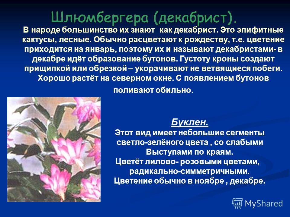В народе большинство их знают как декабрист. Это эпифитные кактусы, лесные. Обычно расцветают к рождеству, т.е. цветение приходится на январь, поэтому их и называют декабристами- в декабре идёт образование бутонов. Густоту кроны создают прищипкой или