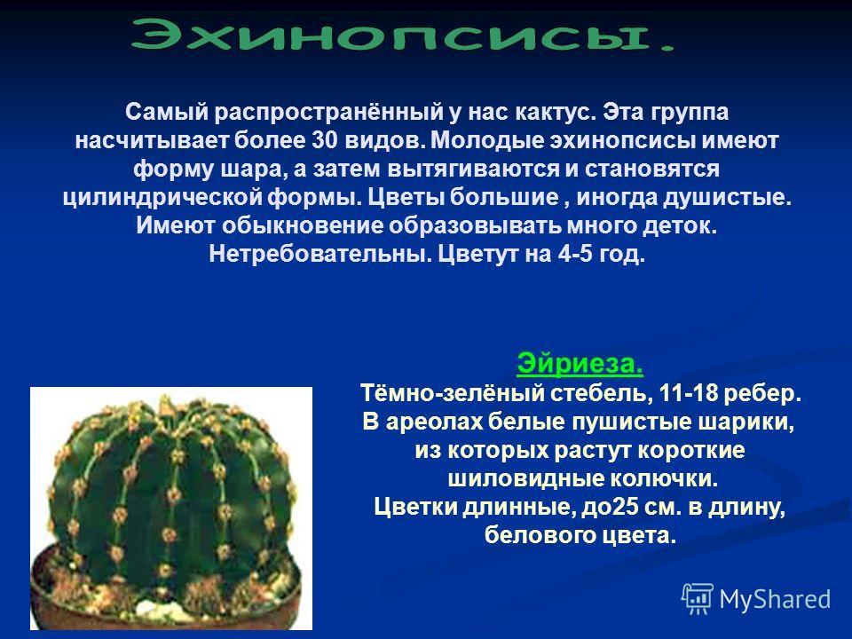 Самый распространённый у нас кактус. Эта группа насчитывает более 30 видов. Молодые эхинопсисы имеют форму шара, а затем вытягиваются и становятся цилиндрической формы. Цветы большие, иногда душистые. Имеют обыкновение образовывать много деток. Нетре