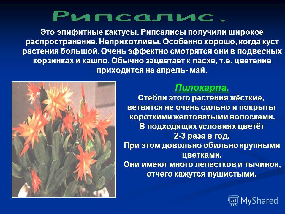 Это эпифитные кактусы. Рипсалисы получили широкое распространение. Неприхотливы. Особенно хорошо, когда куст растения большой. Очень эффектно смотрятся они в подвесных корзинках и кашпо. Обычно зацветает к пасхе, т.е. цветение приходится на апрель- м