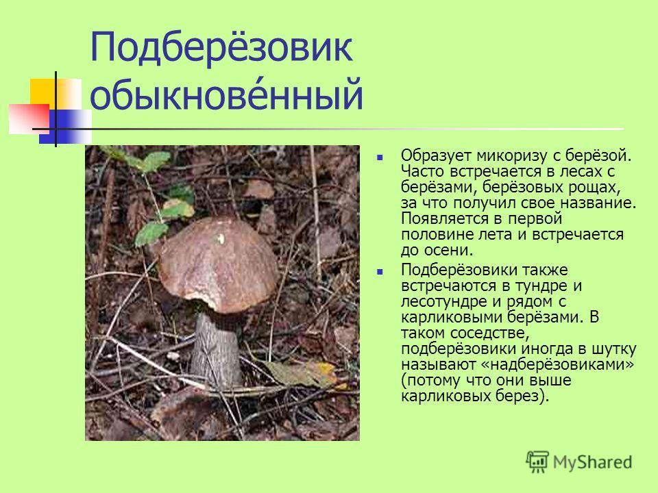 Подберёзовик обыкнове́нный Образует микоризу с берёзой. Часто встречается в лесах с берёзами, берёзовых рощах, за что получил свое название. Появляется в первой половине лета и встречается до осени. Подберёзовики также встречаются в тундре и лесотунд