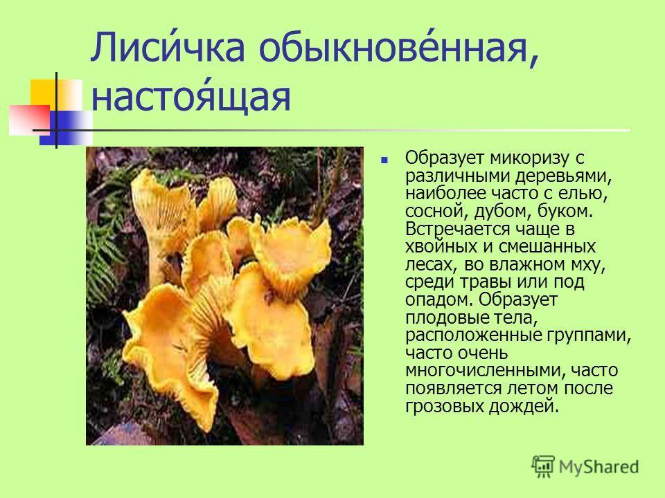 Лиси́чка обыкнове́нная, настоя́щая Образует микоризу с различными деревьями, наиболее часто с елью, сосной, дубом, буком. Встречается чаще в хвойных и смешанных лесах, во влажном мху, среди травы или под опадом. Образует плодовые тела, расположенные