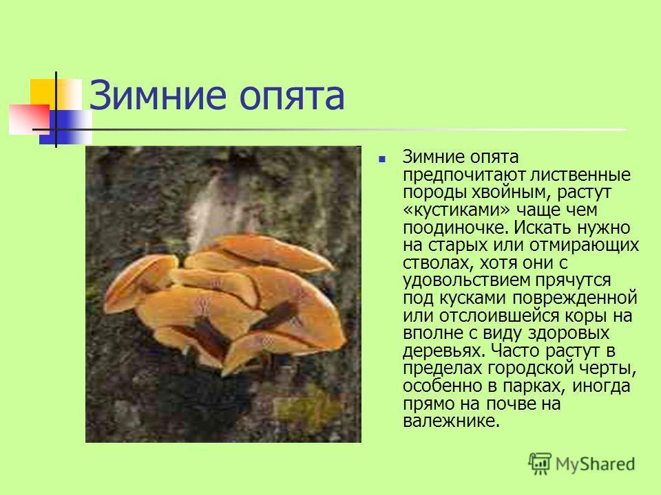 Зимние опята Зимние опята предпочитают лиственные породы хвойным, растут «кустиками» чаще чем поодиночке. Искать нужно на старых или отмирающих стволах, хотя они с удовольствием прячутся под кусками поврежденной или отслоившейся коры на вполне с виду