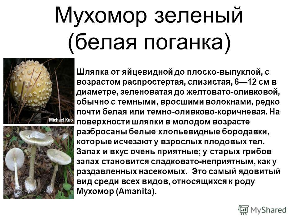 Мухомор зеленый (белая поганка) Шляпка от яйцевидной до плоско-выпуклой, с возрастом распростертая, слизистая, 612 см в диаметре, зеленоватая до желтовато-оливковой, обычно с темными, вросшими волокнами, редко почти белая или темно-оливково-коричнева
