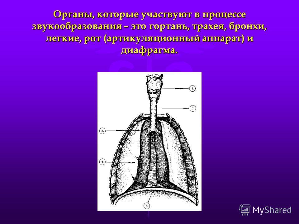 Органы, которые участвуют в процессе звукообразования – это гортань, трахея, бронхи, легкие, рот (артикуляционный аппарат) и диафрагма.