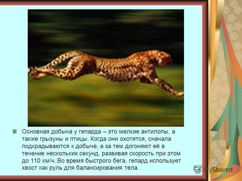 Основная добыча у гепарда – это мелкие антилопы, а также грызуны и птицы. Когда они охотятся, сначала подкрадываются к добыче, а за тем догоняют её в течение нескольких секунд, развивая скорость при этом до 110 км/ч. Во время быстрого бега, гепард ис