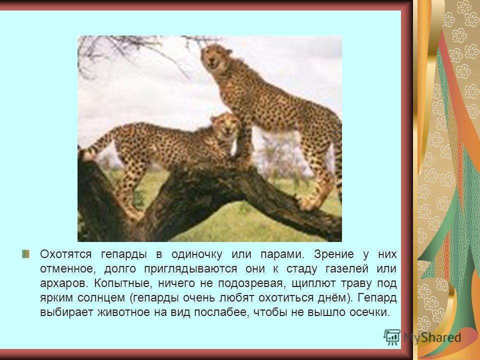 Охотятся гепарды в одиночку или парами. Зрение у них отменное, долго приглядываются они к стаду газелей или архаров. Копытные, ничего не подозревая, щиплют траву под ярким солнцем (гепарды очень любят охотиться днём). Гепард выбирает животное на вид