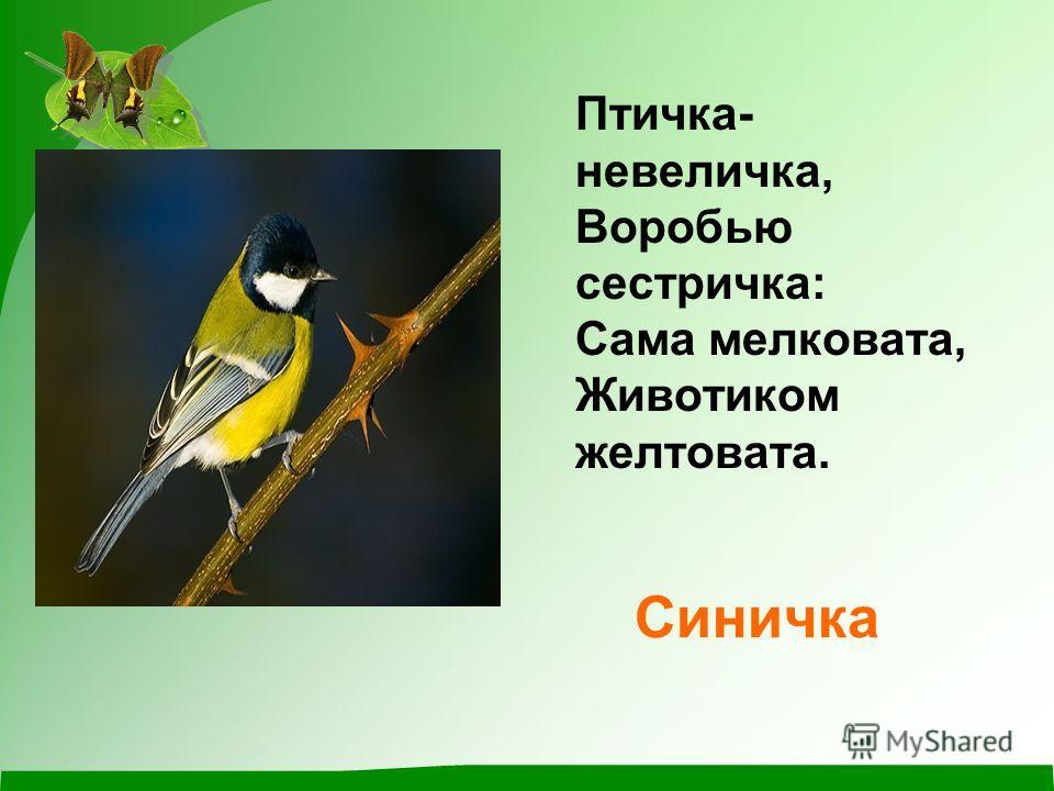 Синичка Птичка- невеличка, Воробью сестричка: Сама мелковата, Животиком желтовата.