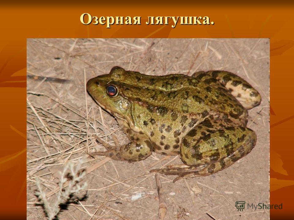 Озерная лягушка.