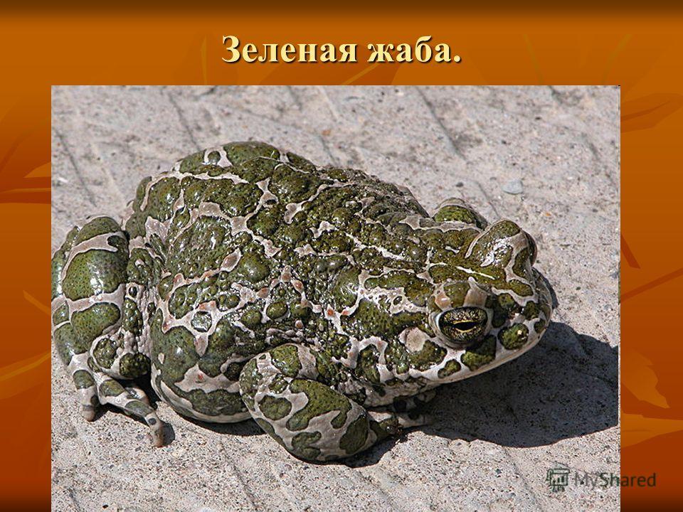 Зеленая жаба.