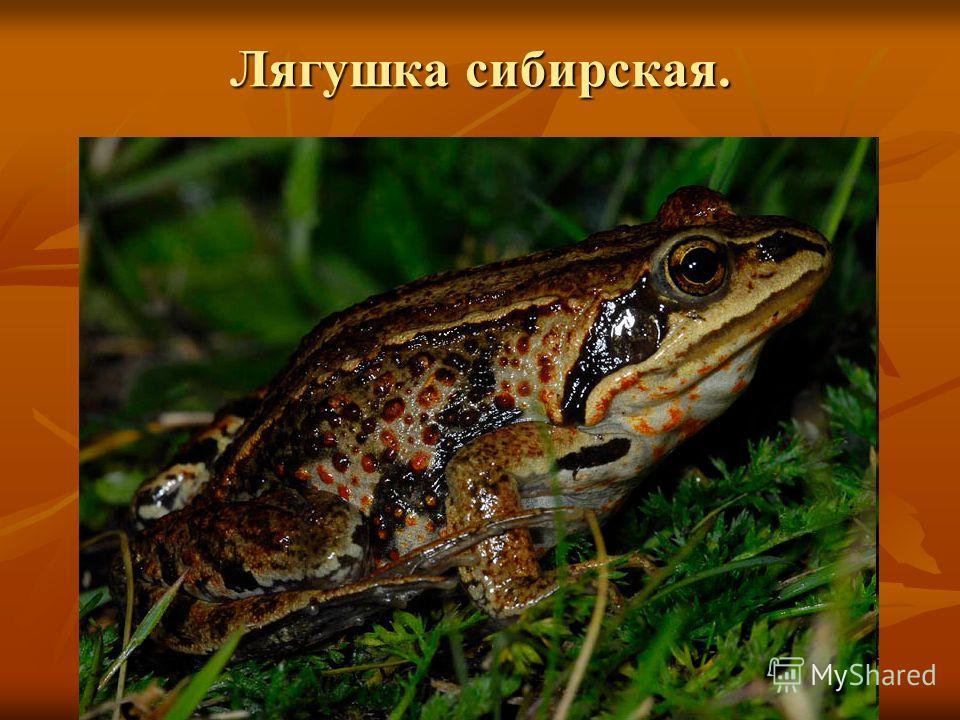 Лягушка сибирская.
