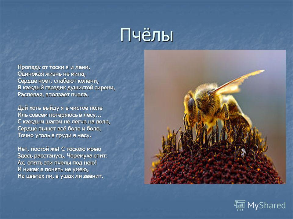 Пчёлы Пропаду от тоски я и лени, Одинокая жизнь не мила, Сердце ноет, слабеют колени, В каждый гвоздик душистой сирени, Распевая, вползает пчела. Дай хоть выйду я в чистое поле Иль совсем потеряюсь в лесу... С каждым шагом не легче на воле, Сердце пы