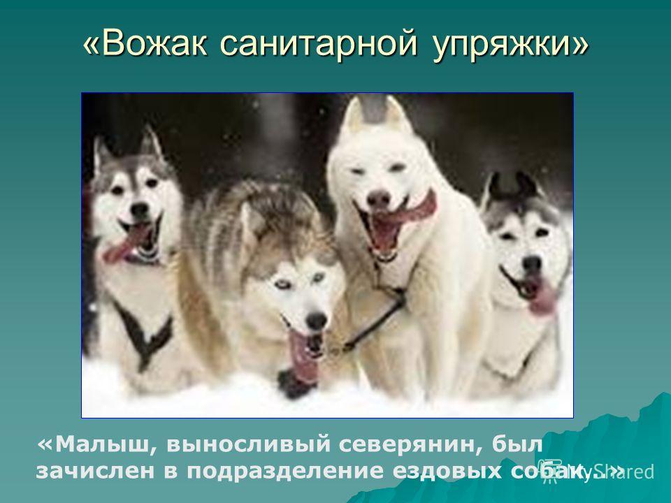 «Вожак санитарной упряжки» «Малыш, выносливый северянин, был зачислен в подразделение ездовых собак…»