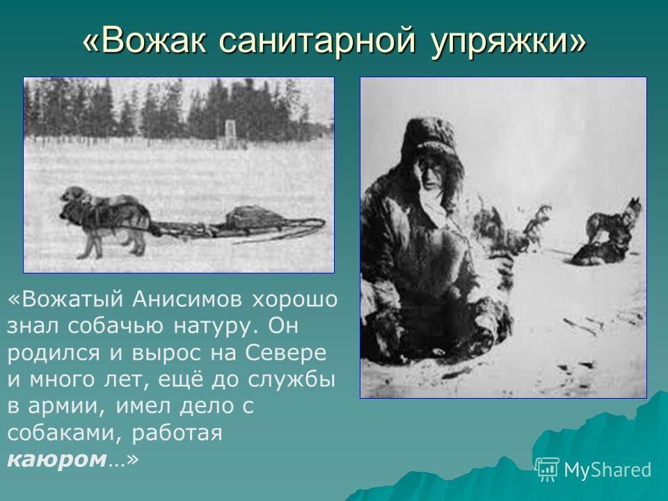 «Вожак санитарной упряжки» «Вожатый Анисимов хорошо знал собачью натуру. Он родился и вырос на Севере и много лет, ещё до службы в армии, имел дело с собаками, работая каюром…»