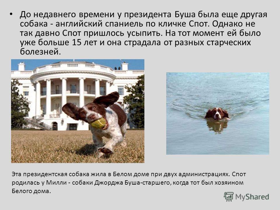 До недавнего времени у президента Буша была еще другая собака - английский спаниель по кличке Спот. Однако не так давно Спот пришлось усыпить. На тот момент ей было уже больше 15 лет и она страдала от разных старческих болезней. Эта президентская соб