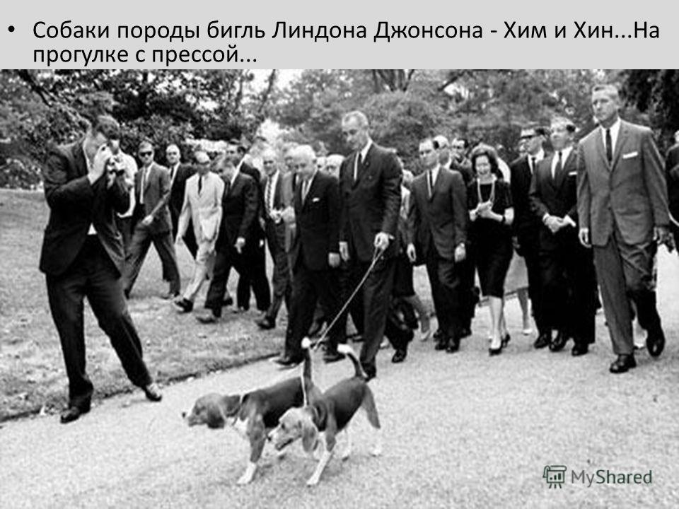 Собаки породы бигль Линдона Джонсона - Хим и Хин...На прогулке с прессой... Джонсону долго пришлось оправдываться перед нацией, объясняя, что Хим и Хин просто обожают, когда их таскают за уши и не испытывают при этом никаких неудобств.