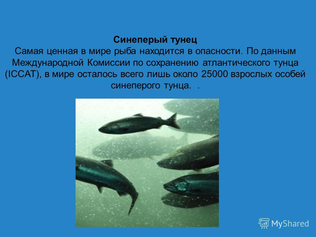 Синеперый тунец Самая ценная в мире рыба находится в опасности. По данным Международной Комиссии по сохранению атлантического тунца (ICCAT), в мире осталось всего лишь около 25000 взрослых особей синеперого тунца..
