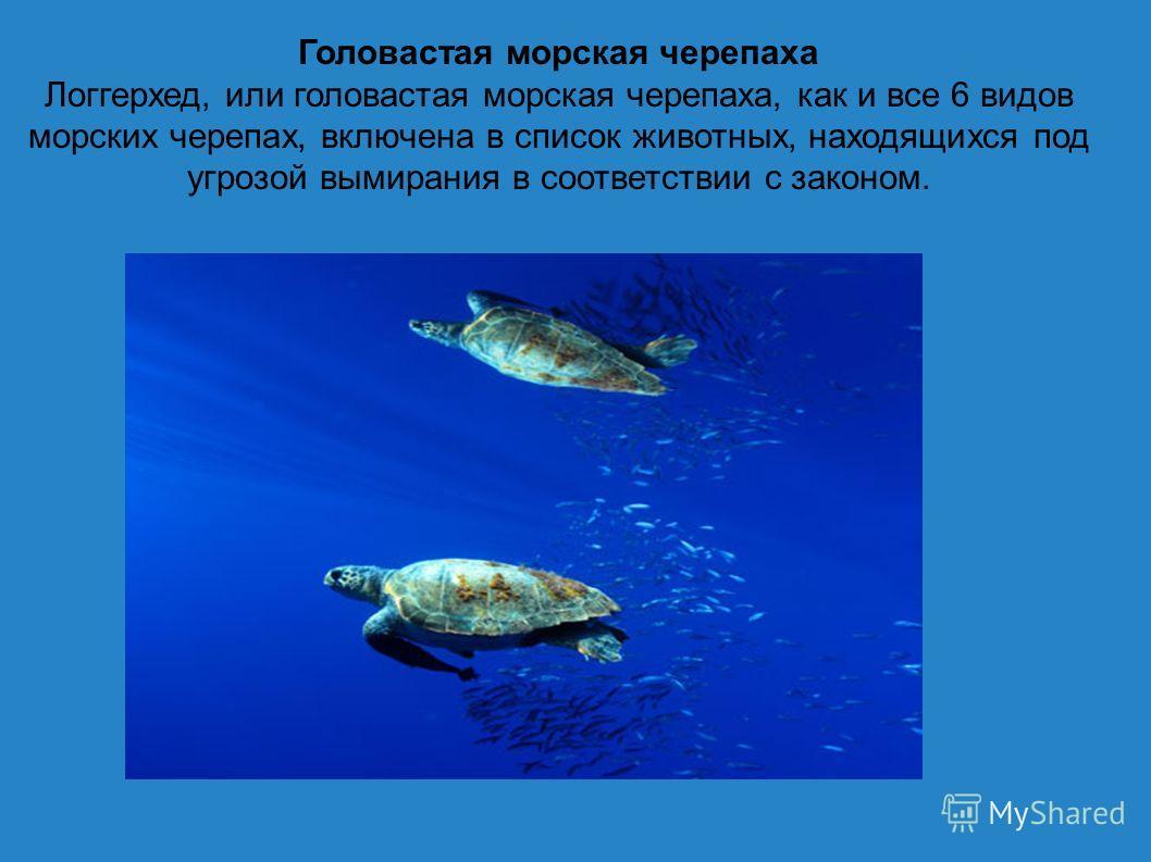 Головастая морская черепаха Логгерхед, или головастая морская черепаха, как и все 6 видов морских черепах, включена в список животных, находящихся под угрозой вымирания в соответствии с законом.