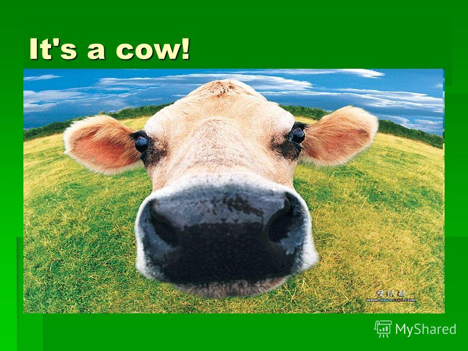What is it? It's a cow!