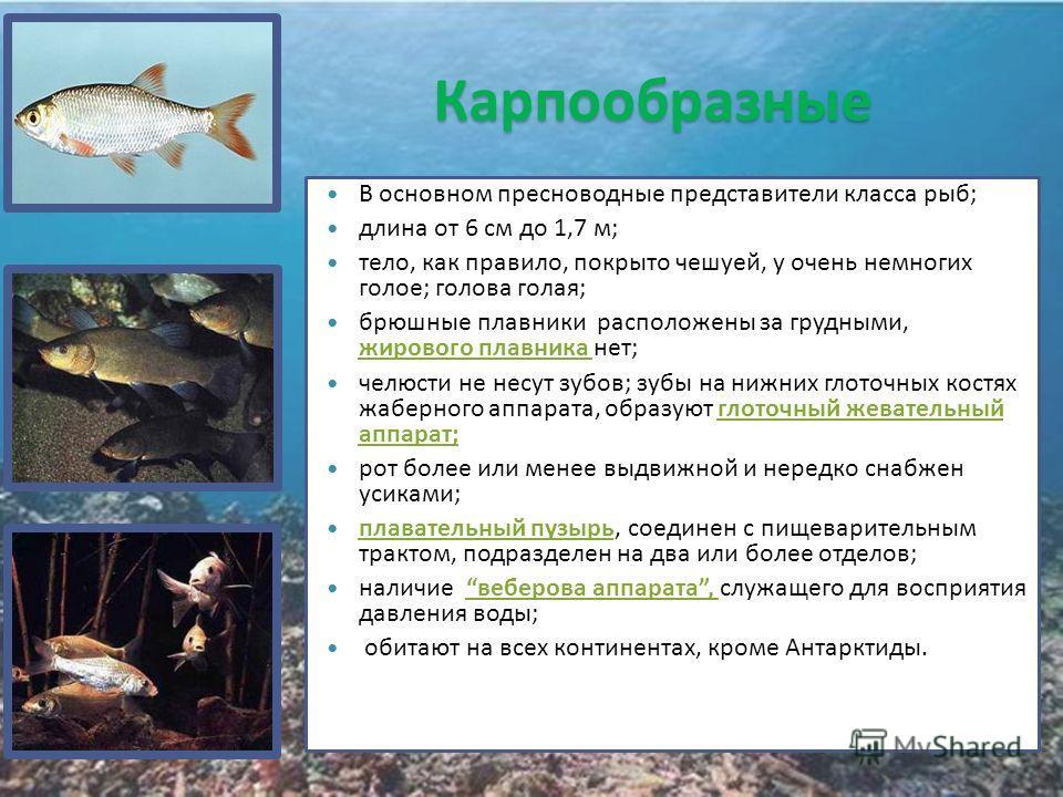 Карпообразные В основном пресноводные представители класса рыб; длина от 6 см до 1,7 м; тело, как правило, покрыто чешуей, у очень немногих голое; голова голая; брюшные плавники расположены за грудными, жирового плавника нет; челюсти не несут зубов;