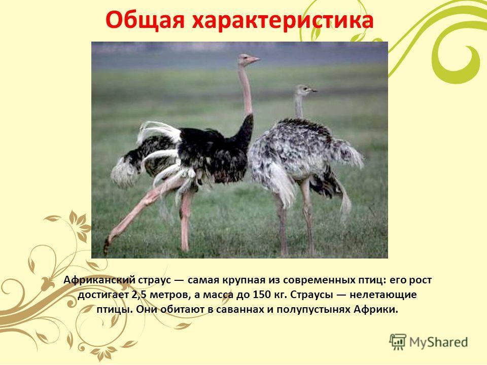 Общая характеристика Африканский страус самая крупная из современных птиц: его рост достигает 2,5 метров, а масса до 150 кг. Страусы нелетающие птицы. Они обитают в саваннах и полупустынях Африки.