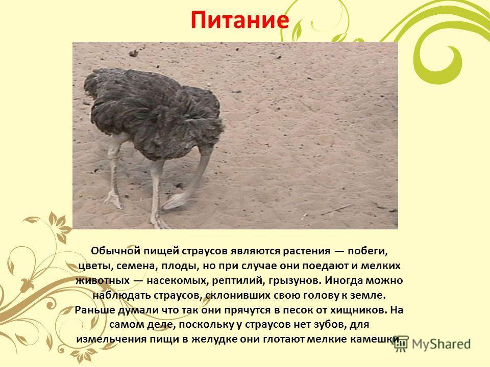 Питание Обычной пищей страусов являются растения побеги, цветы, семена, плоды, но при случае они поедают и мелких животных насекомых, рептилий, грызунов. Иногда можно наблюдать страусов, склонивших свою голову к земле. Раньше думали что так они прячу