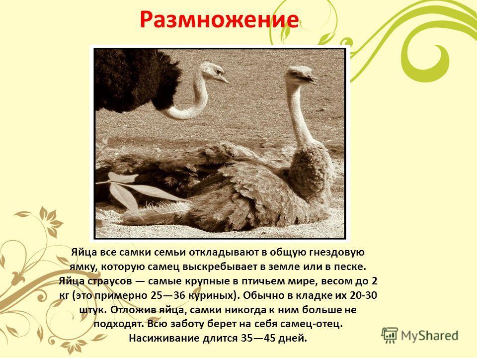 Размножение Яйца все самки семьи откладывают в общую гнездовую ямку, которую самец выскребывает в земле или в песке. Яйца страусов самые крупные в птичьем мире, весом до 2 кг (это примерно 2536 куриных). Обычно в кладке их 20-30 штук. Отложив яйца, с
