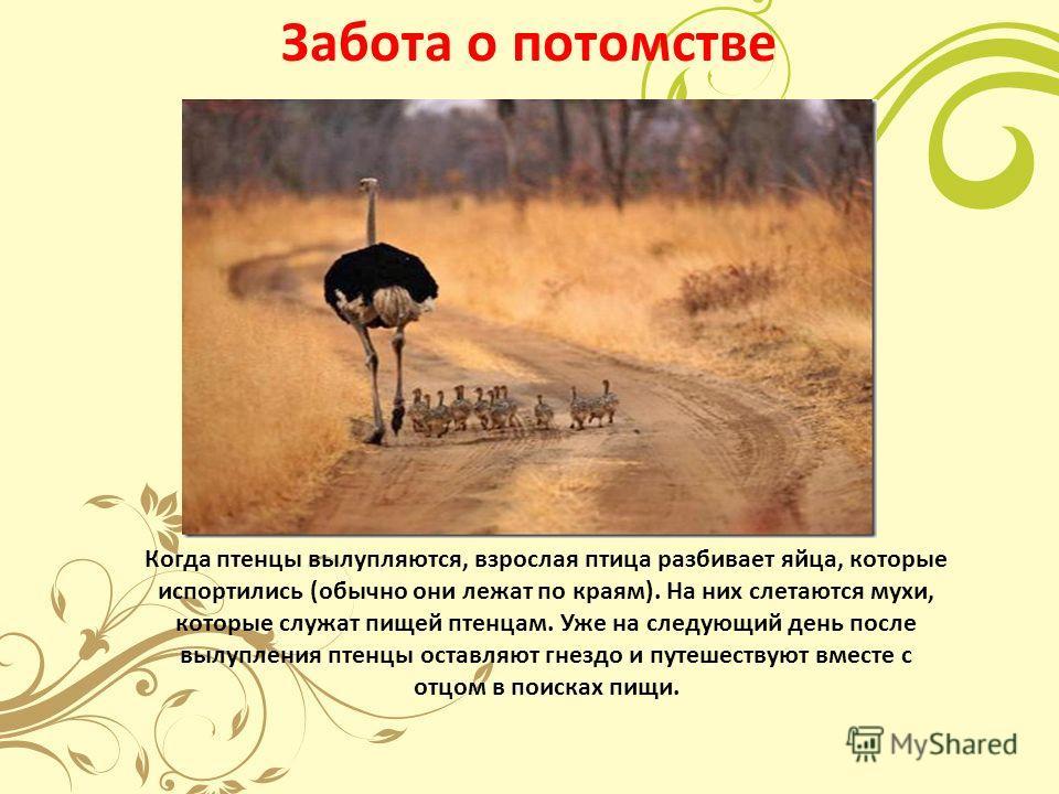 Забота о потомстве Когда птенцы вылупляются, взрослая птица разбивает яйца, которые испортились (обычно они лежат по краям). На них слетаются мухи, которые служат пищей птенцам. Уже на следующий день после вылупления птенцы оставляют гнездо и путешес
